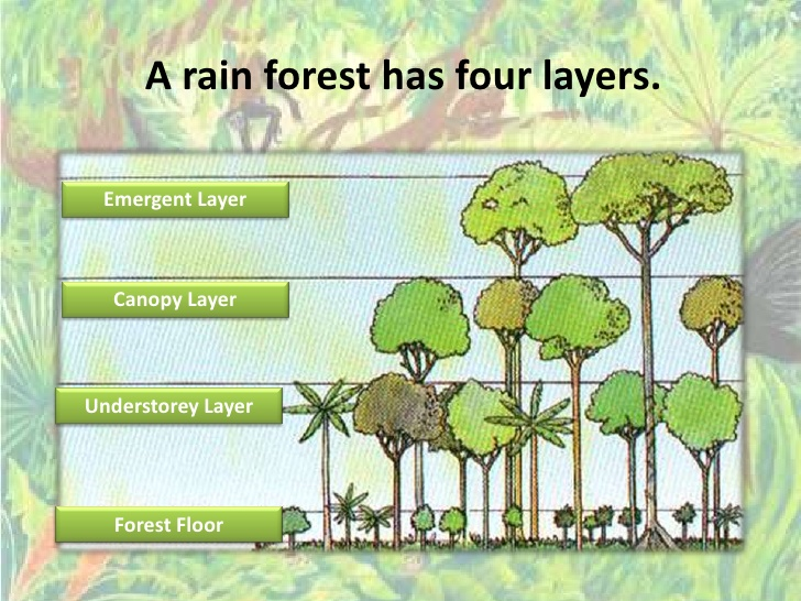 Image result for the rainforest 4 layers